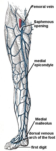 Great Saphenous Vein