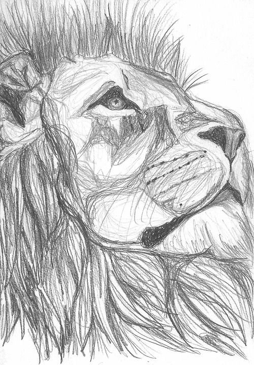 Lion sketch.