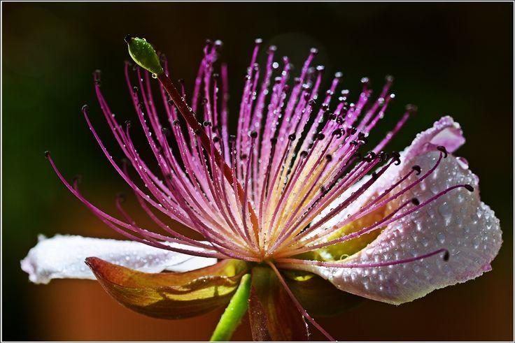 Photo Mania Greece: Caper blossom of the day