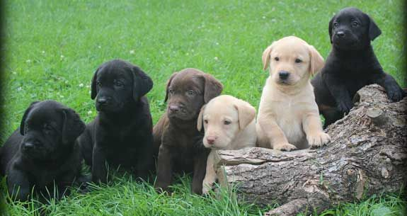 Labrador Puppies For Sale How Much Does They Cost And Why