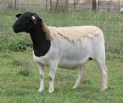 Origin: The Dorper was developed in South Africa in the 1930's by crossing Blackhead Persian ewes with a Dorset Horn ram.They were bred to produce a high quality carcass under extensive conditions. The Blackhead Persian was selected for its non-selective grazing, coat shedding, hardiness and good mothering abilities. The Dorset Horn was selected for its rapid growth rates and carcass attributes. Description: White sheep with short, dullish black hair predominately in the neck and head area.