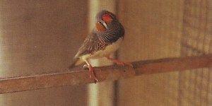 burung pipit zebra, zebra sparrow bird