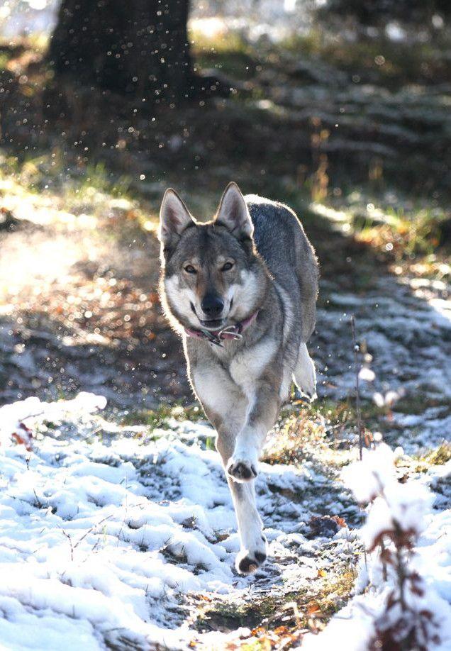 Czechoslovakian Wolfdog | Beautiful ass breed. I will definitely get one someday.