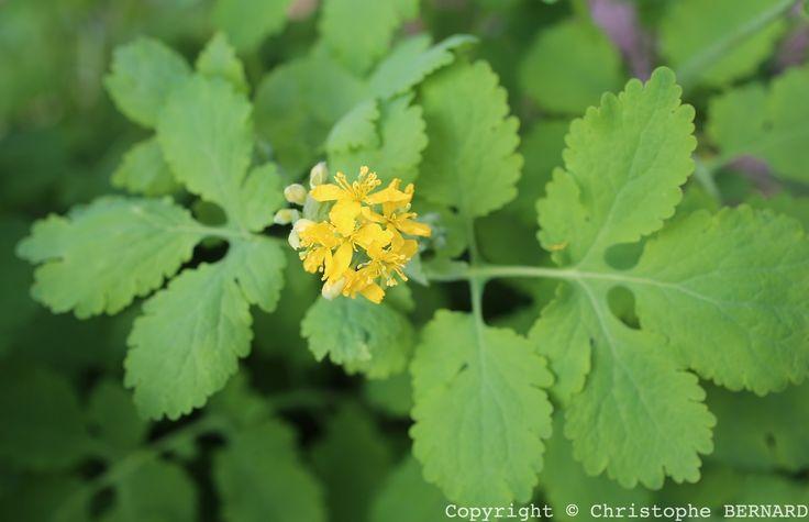 La chélidoine (Chelidonium majus), plante médicinale délicate à utiliser, mais qui appartient à notre culture et tradition. La voici présentée en détails.