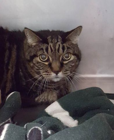 SHORE  10289  Brown Tabby, Neutered, 12 lbs 14.08 oz, Stray,  Super Urgent Shelter Cats  These animals are either high risk, injured or have previously appeared on the To Be Destroyed list and survived. They are in danger of being on the list again or destroyed without any further notice.