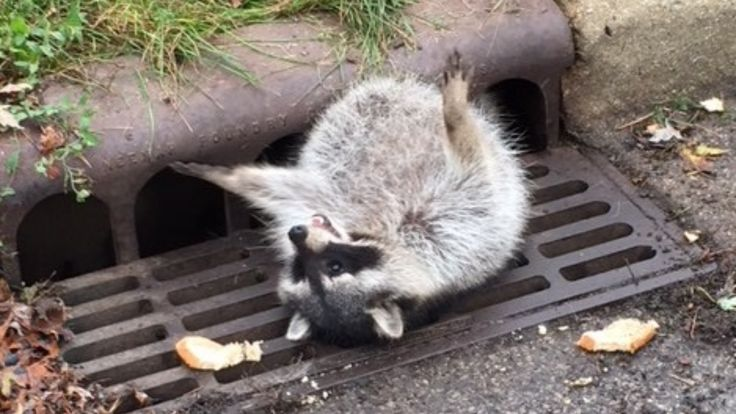 Raccoon Eats Too Much, Gets Stuck in Sewer Grate: Police  - NBC Chicago