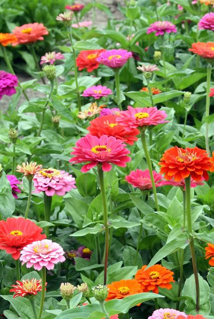 Zinnias - butterflies and hummingbirds adore these colorful flowers - a favorite for long lasting bouquets