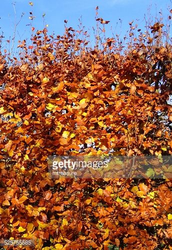beech hedge leaf - Google Search