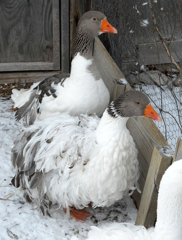 Cottage Rose Birds n' Blossoms : Quality White & Colored Sebastopol Geese