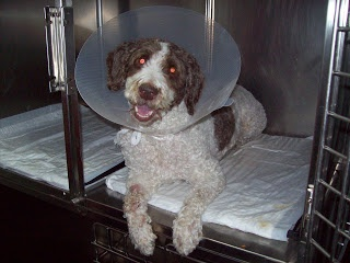 HIPPIE fue operada por un tumor de bazo bastante grave. Mira su caso en nuestro blog