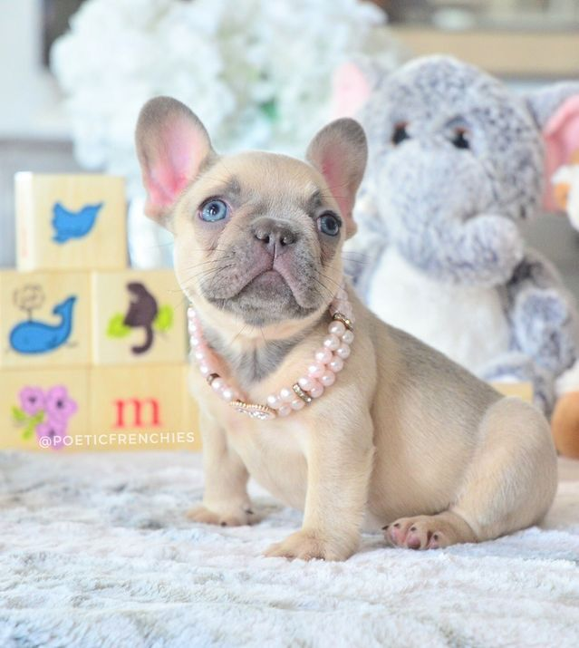 Blue Frenchie And Lilac Frenchie From First Class Frenchies