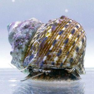 Vente d'invertébrés marins, escargot Turbo fluctuosus (mangeur d'algue rouge) pour nettoyer votre aquarium récifal - Coral Biome