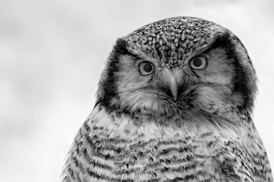 Mikael Johansson - The owl, black & white photo art, prints & posters