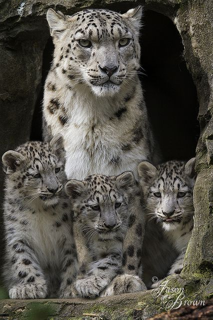 ~~Irina and her cubs | snow leopard family by JasonBrownPhotography~~