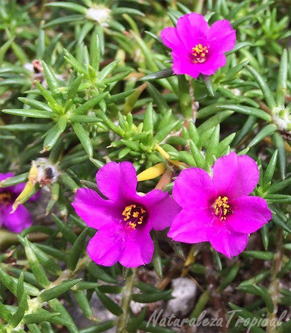 variedad simple de la flor diez del d a portulaca pilosa