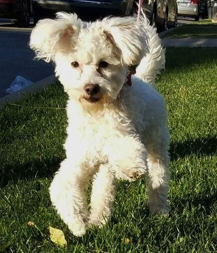 Meet Honey, an adoptable Maltese looking for a forever home. If you're looking for a new pet to adopt or want information on how to get involved with adoptable pets, Petfinder.com is a great resource.