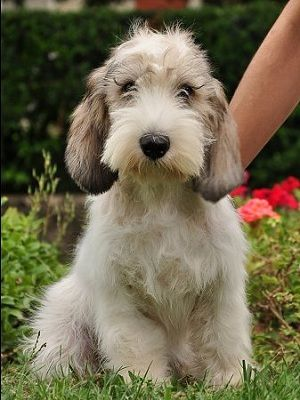 Originating in 16th century France, the Petit Basset Griffon Vendéen (PBGV) was bred to hunt small game by scent. Capable of hunting in any type of weather as well as over any type of terrain, it is the smallest of the four hounds that come from the Vendée region of Western France.