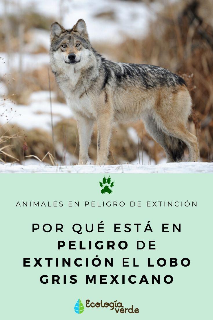Por Qué Está En Peligro De Extinción El Lobo Gris Mexicano Lobo Gris Mexicano Animales En Peligro De Extincion Lobo Gris
