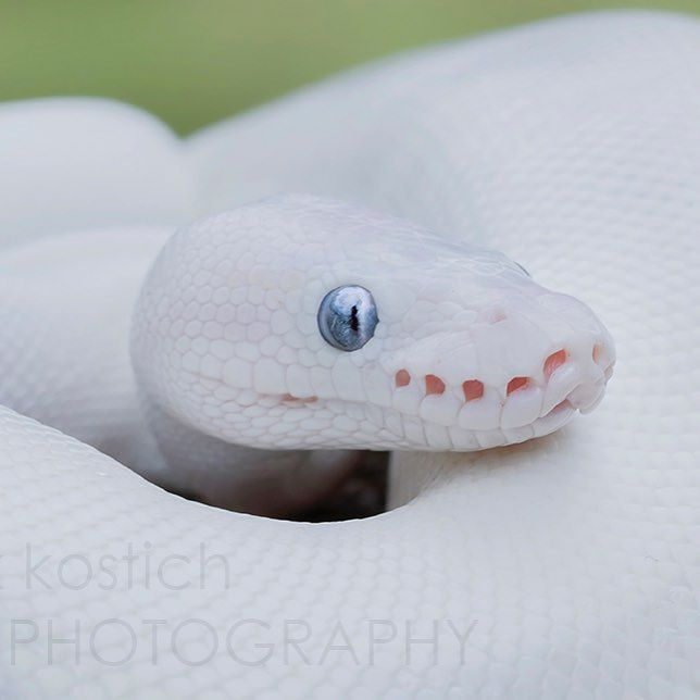Leucistic Ball Python (snake owned by the great @brookieecookierawr ) by mark_kostich_photography