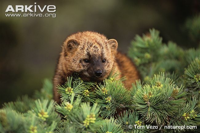 North American Fisher - Martes pennanti - in pine tree