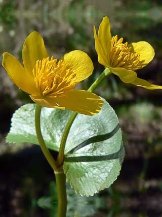 Marsh marigold is an important sign of spring. Started some of these from seed yesterday, not sure how things will go.