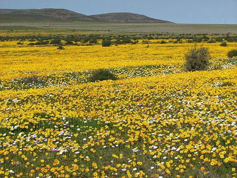 Wild flowers, West coast of South Africa, near Cape Town