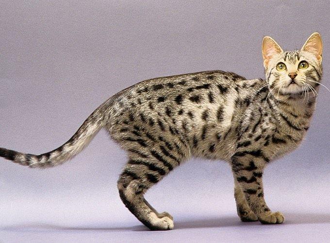 Dans cette article nous allons vous présenter une des races les plus anciennes de chats : zoom sur le Mau Égyptien.Le Mau…
