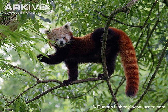 Red panda  Ailurus fulgens  Rarity  vulnersble  Size 36g  Speed    No of babies 2