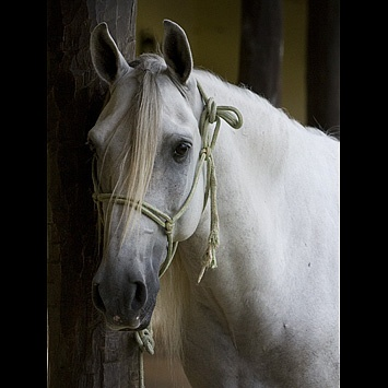 Lusitano: Hors Racing, Pretty Horses, Out 3, Horses Racing