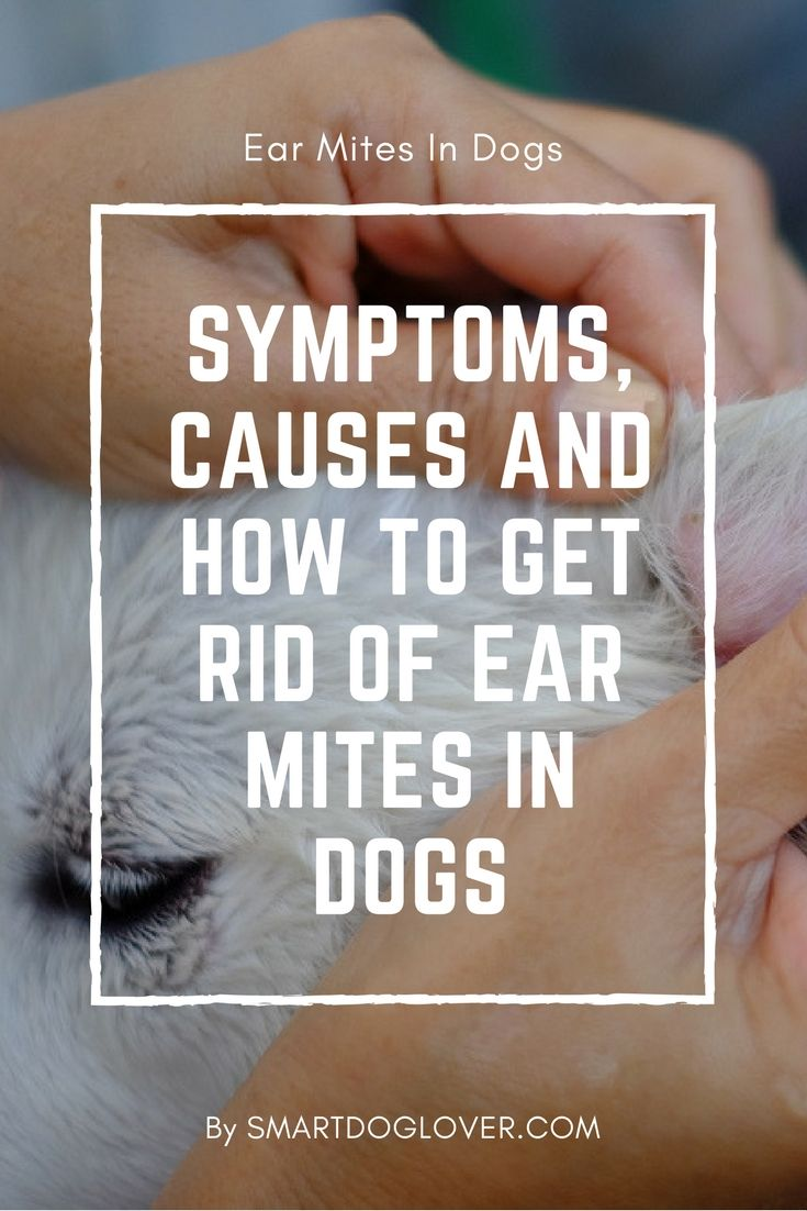 Ear mites in dogs what causes how to get rid of dog