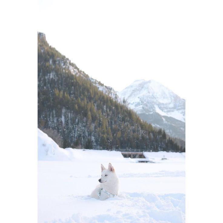 Blanco #milanesa #pomsky #love #siberianhusky #pomeranian #husky #blueeye #dog #puppy #instadog #instapuppy #dogsofinstagram #puppiesofinstagram #dogoftheday #dogsofinstaworld #dogstagram #lacyandpaws #dogsync #cuddleclones #hohwintersearch #grettasrandomwednesday #thehuskylove #DogsandPals #HOHsponsor2016 #blanco #pitbull #pharrell #winterwonderland #winter #snow by milanesa.sosa