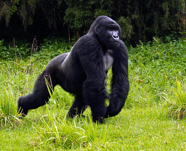 Rwanda gorilla tours are, undoubtedly, a bucket list essential! Tours through the forest are carefully regulated and provide fascinating insight into these beautiful animals that's sure to leave a lifelong impression... #Gorillas #Africa #Safari #Travel