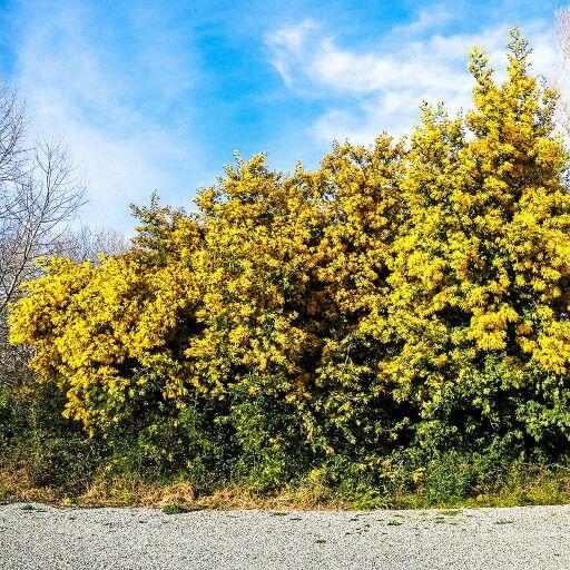 Все хотел показать вам, как растет мимоза в Провансе. #прованс #мимоза