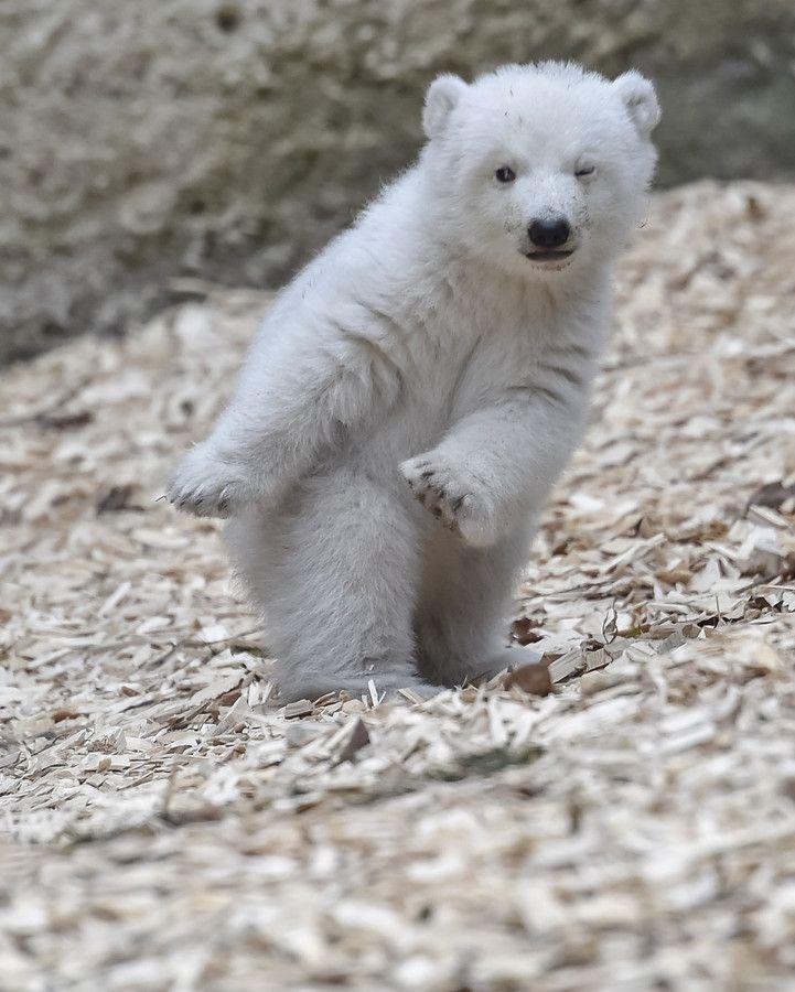 ドイツ南部ミュンヘンにあるヘラブルン動物園でお披露目された生後14週のホッキョクグ - Yahoo!ニュース(AFP=時事)