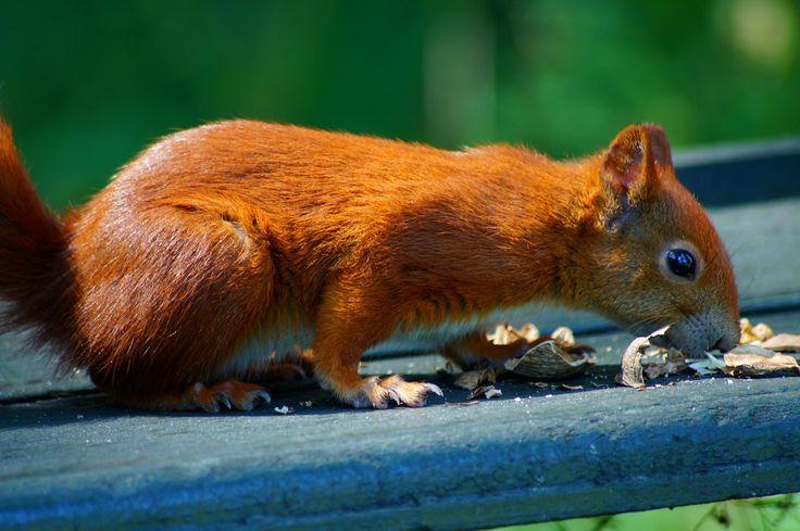 Polish  squirrel. picture Wanda Modzelewska