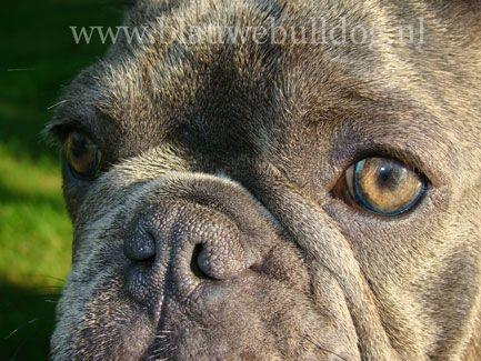Blue eyed blue French bulldog - Blauwe bulldog met blauwe ogen