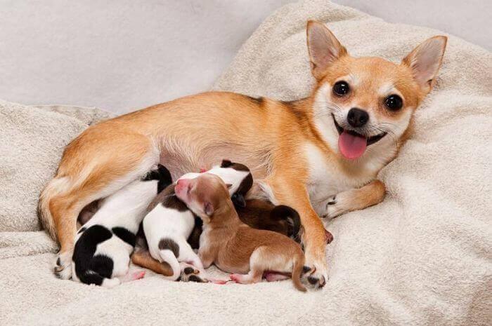 10 aspectos importantes sobre la gestación en perros