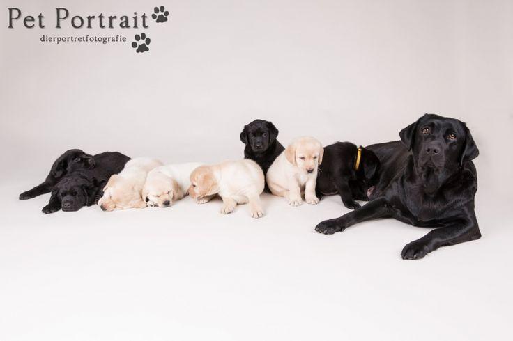 Hondenfotograaf Hillegom - Nestfotoshoot Labrador retriever pups geel en zwart-40