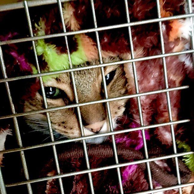 ニコは先月末に少し異変を感じて、病院で血液検査してみたら数字的にはいつ亡くなってもおかしくない腎不全と、極度の貧血ということで毎日朝病院に預けてます。  今は数値の改善も見られ、ご飯も食べるようになって少し元気になったけど予断は許せない状況。  でも絶対諦めない。 きっとよくなるさ。  #猫 #ねこ #愛猫 #保護猫 #保護ネコ #元野良猫 #ニャンコ #にゃんこ #ねこ部 #cat #lovecat #catlove #catstagram #kawaii #ねこすたぐらむ #にゃんすたぐらむ #猫ばか #猫好き #シャムミックス #きじとら #病気  #sick  #動物病院  #animalhospital  #通院  #visits  #腎不全  #kidneyfailure  #貧血 #anemia