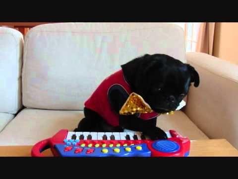 ピアノ演奏 piano dog★黒パグPug チョコ  Adore !