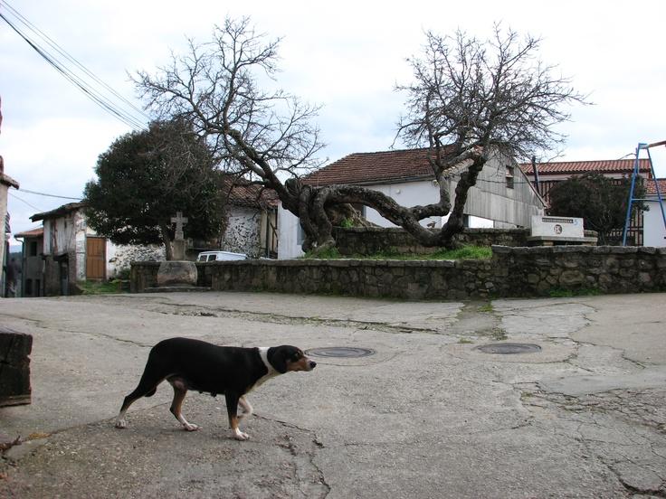 Una placita en el extremo de Herguijuela de la Sierra con un árbol en el centro de geometría difícil, unos columpios para los infantes del pueblo y una perrita parida que quiso salir en la foto.