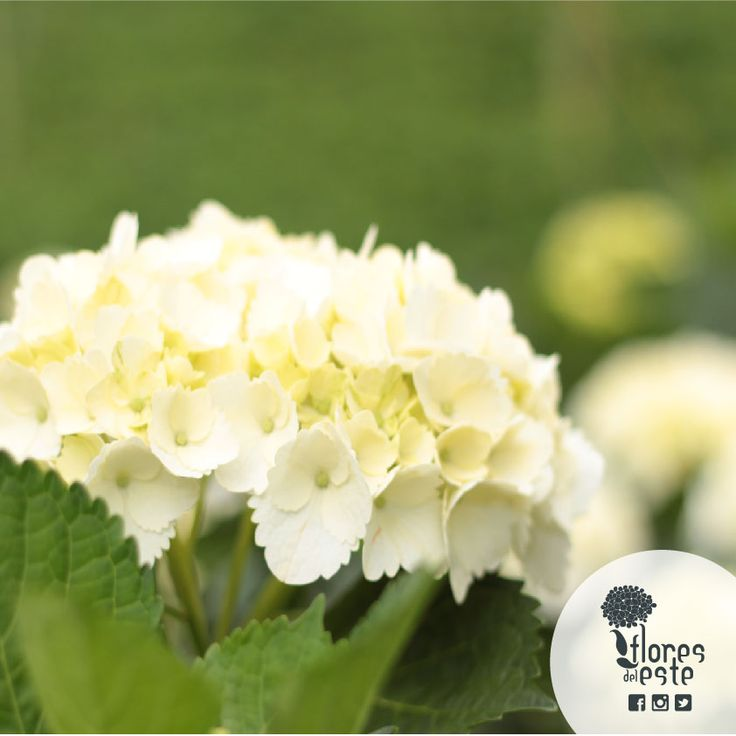 Doing business with us is like walking down a path enriched by #tradition, #quality, #respect for nature, and attention to details. At the end we will see the finest #hydrangeas.#floresdeleste