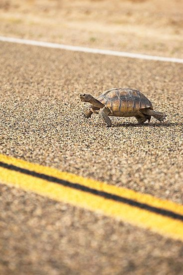 Why did the tortoise cross the road? It was the chickens day off!