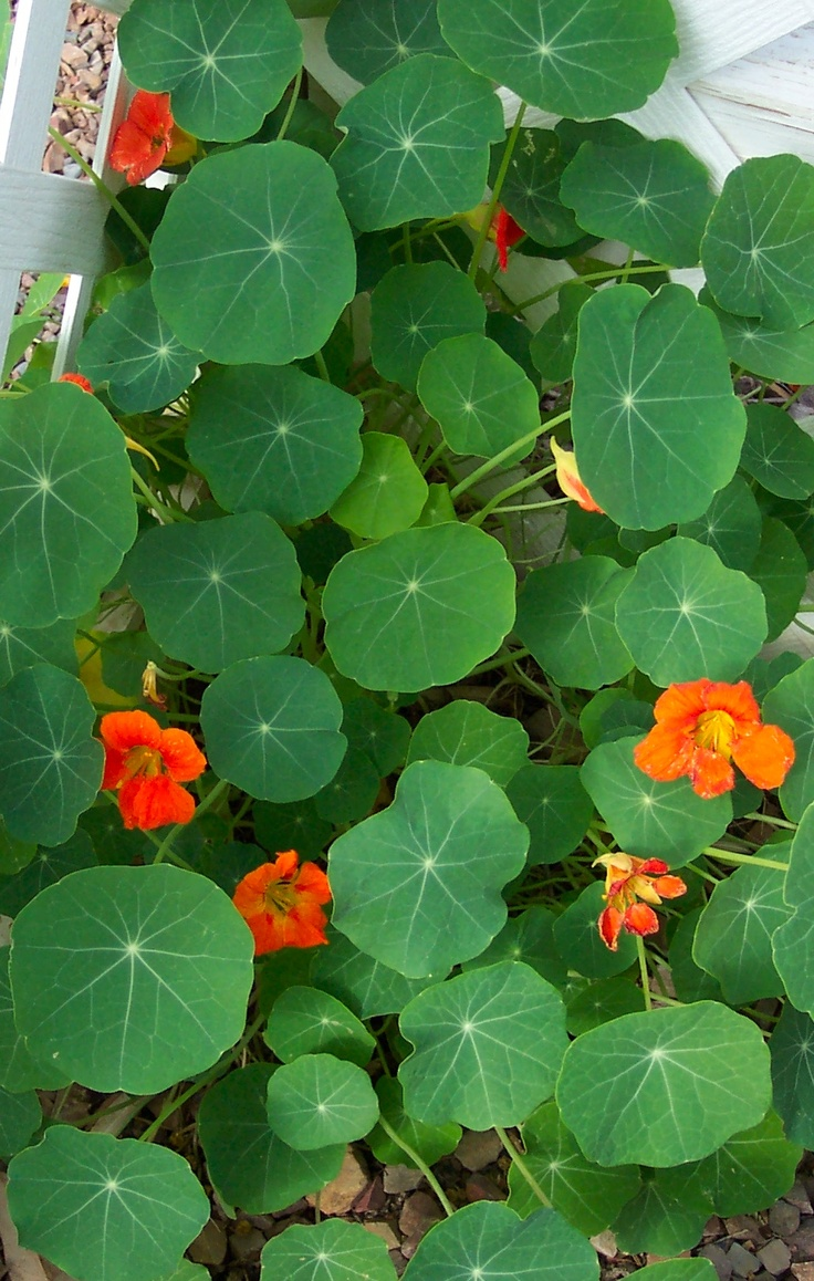 Buy culinary herbs plants nasturtium plants - The Nasturtiums I Planted Are Finally A Few Inches Tall Can T Wait To Wild Flowersthe