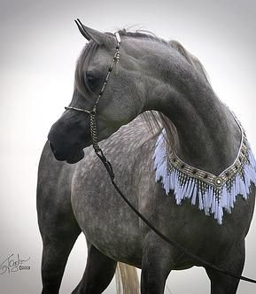 Kehilan Arabians breeders of Straight Egyptian Arabian Horses | Marina KA