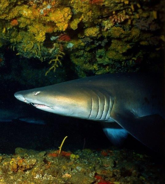 Ragged tooth shark, Protea Banks, Natal, South Africa Photo by Mark Taylor Hutchinson