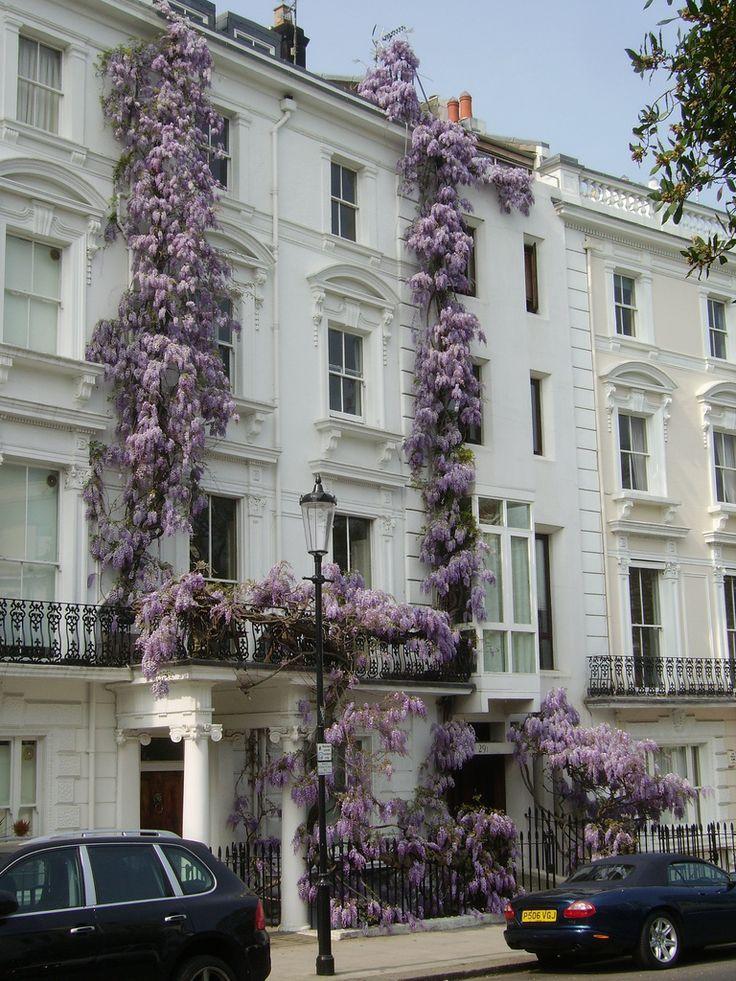 Wisteria love   London town house