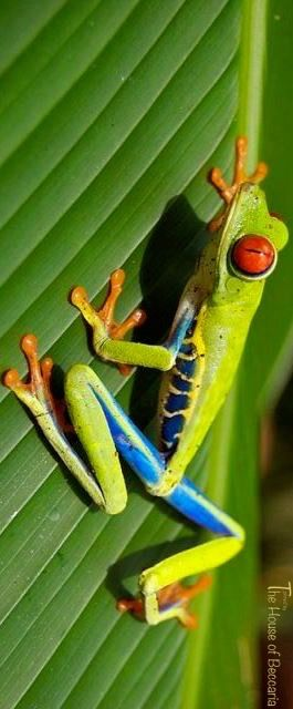 ~Red-eyed Tree Frog (Agalychnis Callidryas) | The House of Beccaria