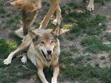 Un tempo decimati dai bracconieri, ora si stanno moltiplicando dal friuli alla Maremma, dal Piemonte all'Abruzzo. e spesso creano branchi misti con i cani selvatici