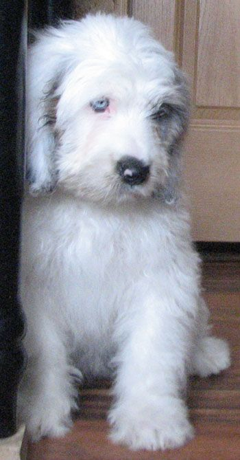 Saint Berdoodle Dogs For Sale